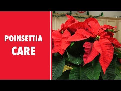 Schnucks: Poinsettia Care