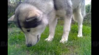 Зачем собака маламут ест траву