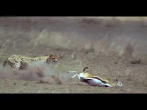 la course du guepard