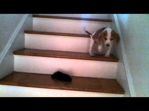 Beagle Puppy Learns To Go Down Stairs