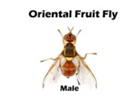 Fruit Fly Control Hawaii   YouTube