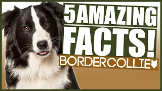 BORDER COLLIE! 5 Incredible Facts About The Border Collie!