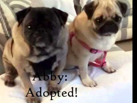 pug rescues adopt me pug rescue of new england prone pugs 2662