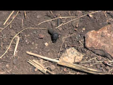 Dung Beetle (and free riders) working hard (Not your usual Yellowstone video)