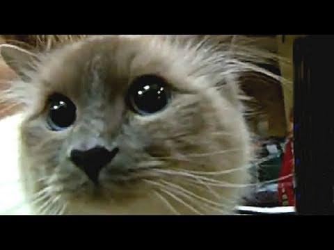 2010 Cat Show (TICA) - Okanagan Valley Cat Fanciers International Show