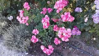 Подкормка роз, часть 1, питомник роз Полины Козловой