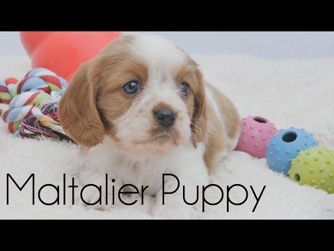 Maltalier Puppy