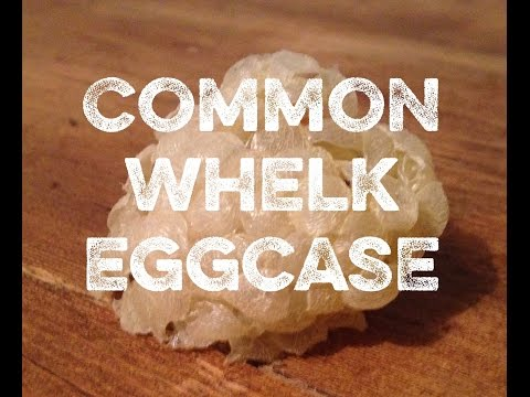 How did these eggs get up here? | Common Whelk eggcase