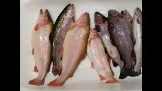 Рыбалка в КРХ Светлые горы или закрытие сезона жидкой воды 2018