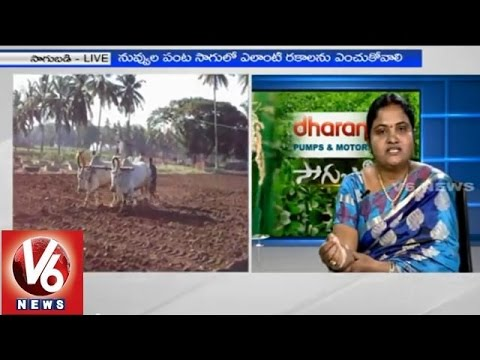 Techniques for cultivating Sesame crop - Prof Jayashankar AU Scientist T Shoba Rani - Sagubadi