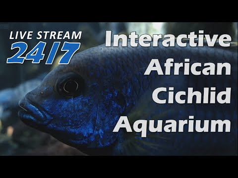 Relax, recharge, and focus --- The Cichlid Show --- 75G Malawi showtank streamed live