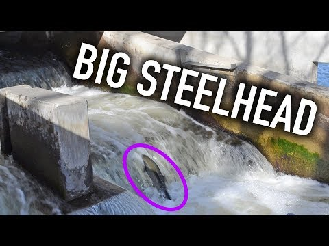 Steelhead Run At Fish Ladder Park In Grand Rapids Michigan