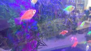 Виды ярких аквариумных рыбок Glofish.