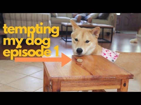 Will She Steal the Treat? Tempting my Shiba Inu. | EPISODE 1