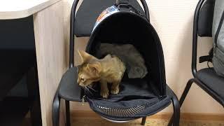 Абиссинская кошка Корица - новый член семьи!