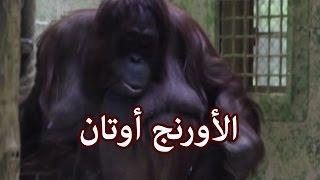 الحيوانات - الأورنج أوتان