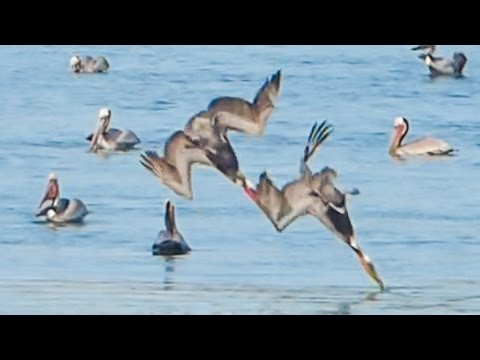 Pelicans Flip UPSIDE DOWN, While Diving Into Water!!