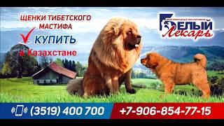 Щенок тибетского мастифа Белый Лекарь Янь Шань для Казахстана