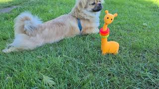 Tibetan Spaniel 8 months loves the whistle
