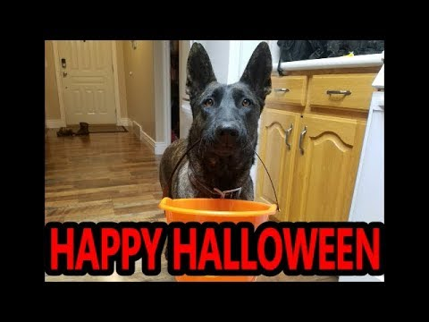 Smart Dog Goes Trick or Treating!