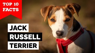 Jack Russell Terrier  Top 10 Facts