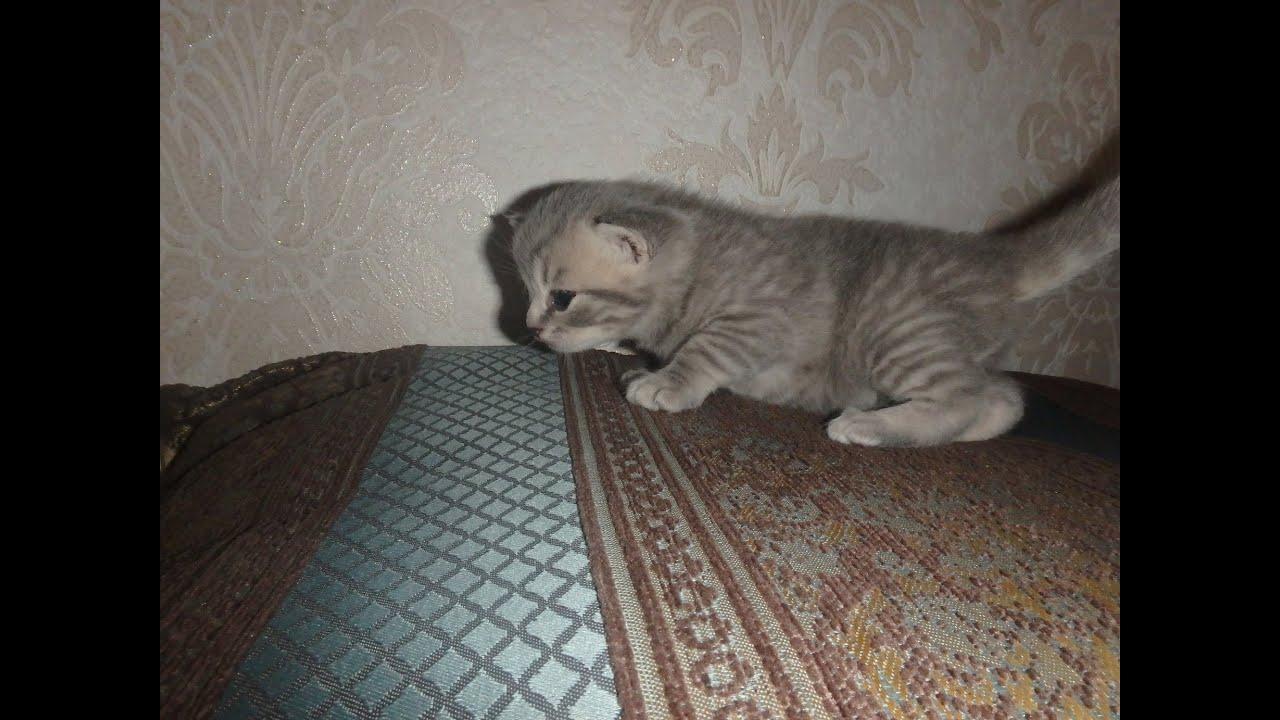 Шотландские котята.Вислоухие котята.Скоттиш фолд и скоттиш страйт .