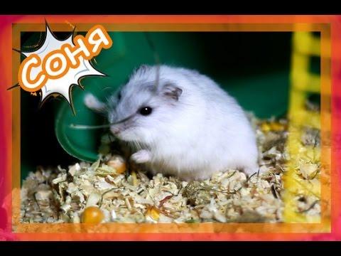 видео: Что делают хомячки. Соня беременна?