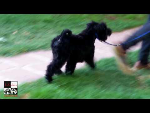 Kerry Blue Terrier La Cadiera  Imperator con 3 meses.