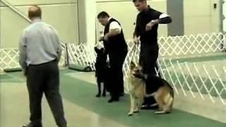 Judging German Shepherd Dogs At Grand Rapids (mi) Kennel Club Show 11/11//2012