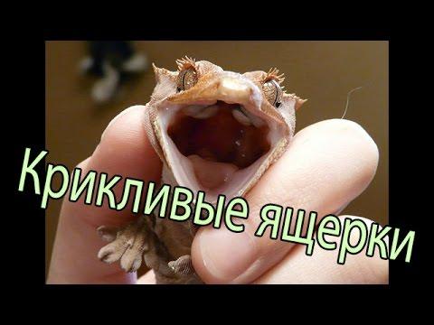 Как разговаривают ящерицы