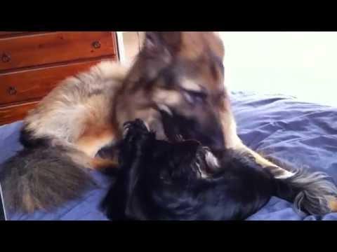 german shepherd vs chihuahua