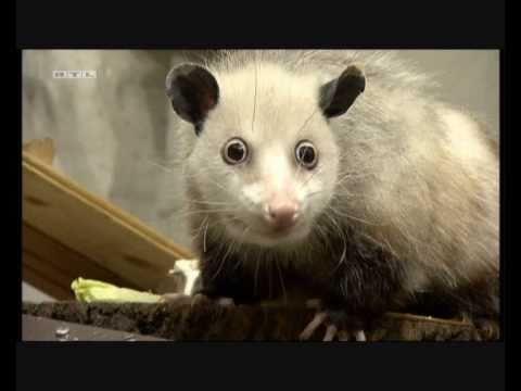 Das schielende Opossum Heidi
