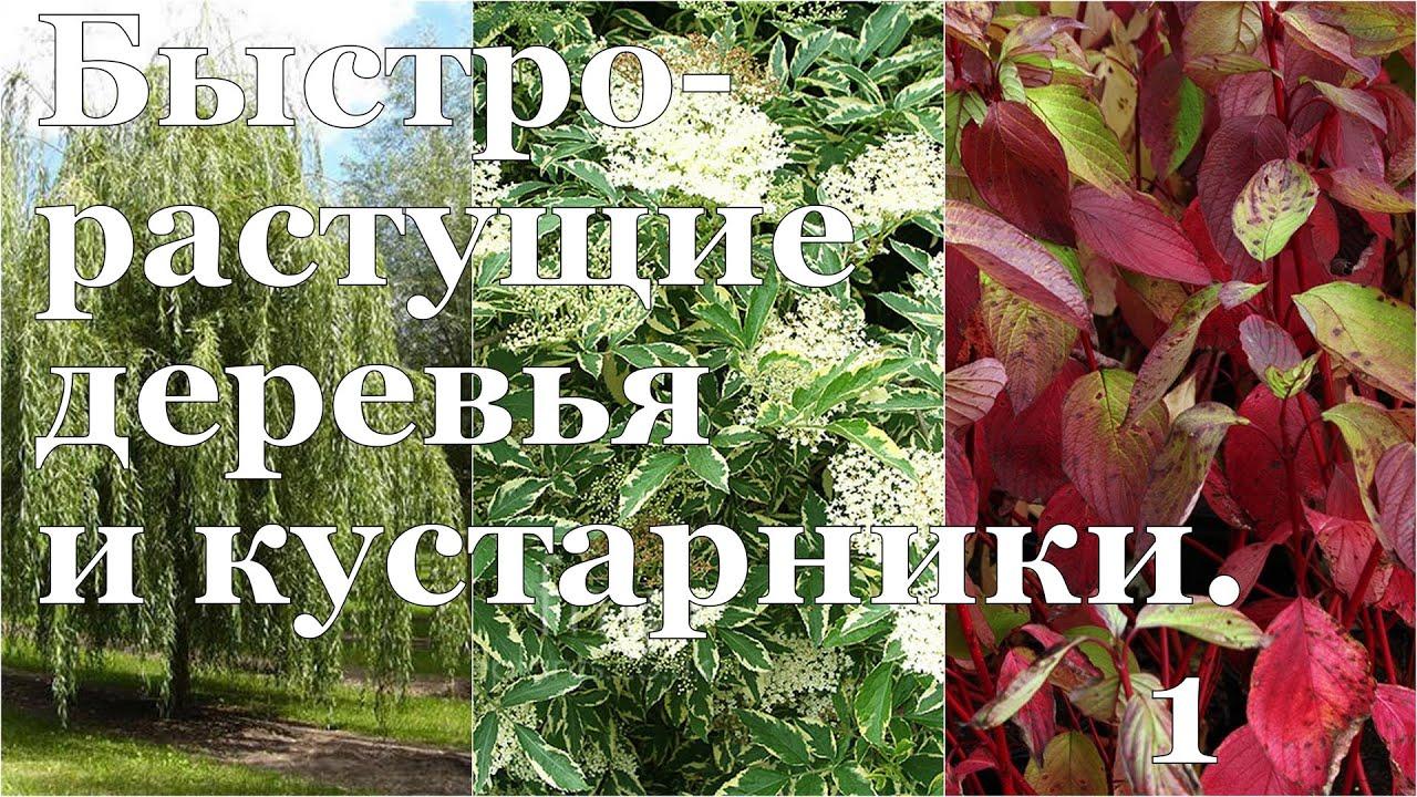 """Как """"вырастить ТЕНЬ"""" на даче? Быстрорастущие деревья и кустарники"""