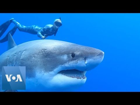 Marc 'The Cope' Coppola - Would You Do This?! Swim With Giant Shark?
