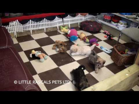 Little Rascals Uk breeders New litter of Morkie (Maltese x Yorkie) babies - Puppies for Sale UK