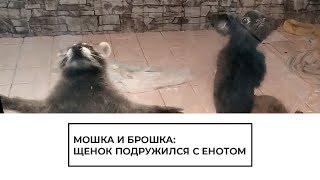Мошка и Брошка: щенок подружился с енотом