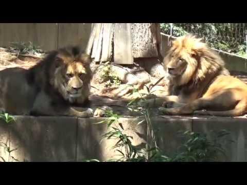 Big Cats: Lion, Sumantran Tiger, Cheetah at the Smithsonian National Zoo 7.30.17