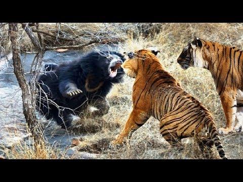 दो खतरनाक बाघों
