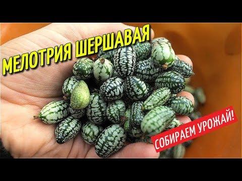 Вопрос: В каких регионах РФ можно вырастить мелотрию шершавую сорта Шапито?