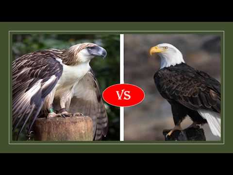 Philippine eagle vs Bald eagle fight- who will win?