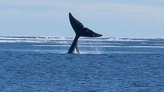 [Doku] Sanfte Riesen - Das lange Leben der Grönlandwale [HD]