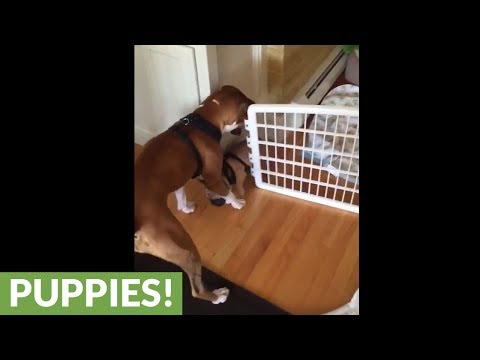Dog helps puppy escape from pen