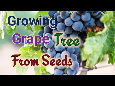 How to grow Grape Plants from Seeds. 100 % Success.