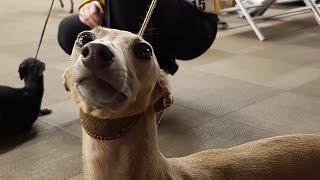 ИТАЛЬЯНСКАЯ ЛЕВРЕТКА. Выставка борзых (ITALIAN GREYHOUND. Speciality dog show for sighthounds)