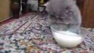Cute Persian Kittens Drinking Milk !