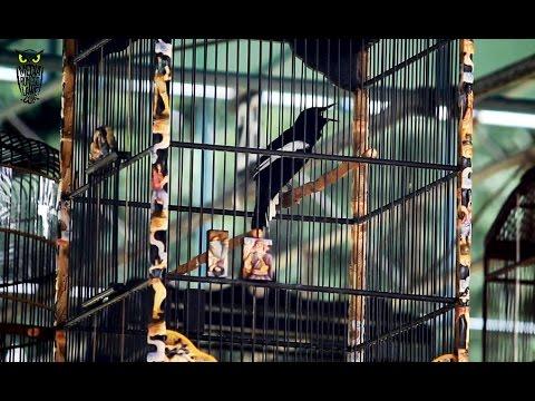 SUARA BURUNG : Aksi Brutal Kacer Kipas Sate Milik Mr Sunarto/ Cak Safiri Di Bupati Cup Sleman