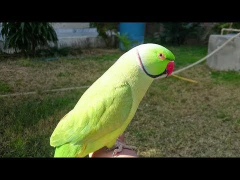 Indian Ringneck Parrot Cute Voice