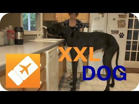Amerika XXL: Der größte Hund der Welt | Riesige Tiere