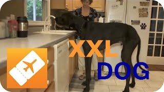 America XXL: The biggest dog worldwide