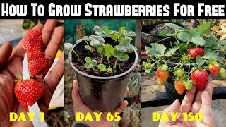 How To Grow Strawḃerries From Seed | SEED TO HARVEST